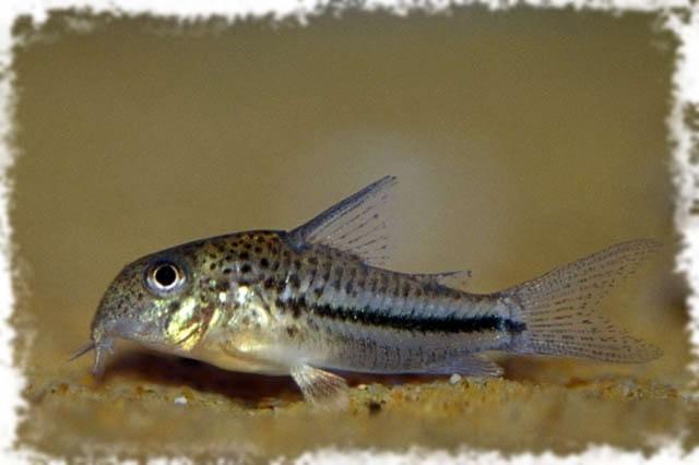 неприхотливая аквариумная рыбка