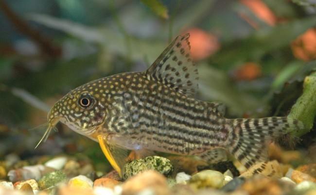 Неприхотливые аквариумные рыбки сомики коридорасы.