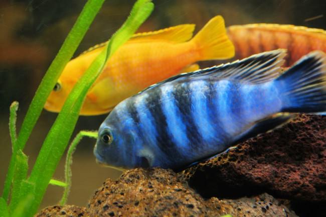 Неприхотливые аквариумные рыбки цихлиды.