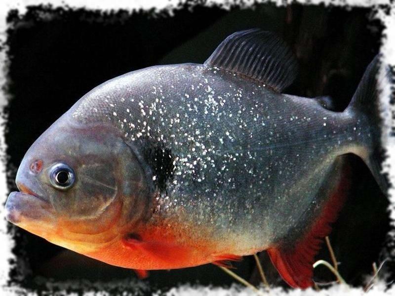 аквариумные хищники пирании