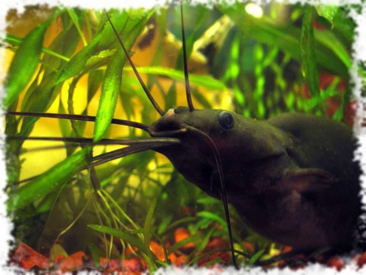 аквариум с хищными сомами