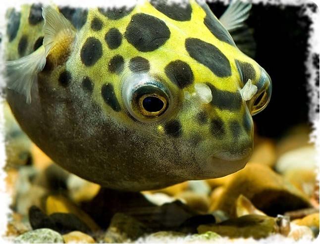 тетрадон аквариумный хищьник
