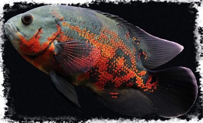 хищная рыба астронотус