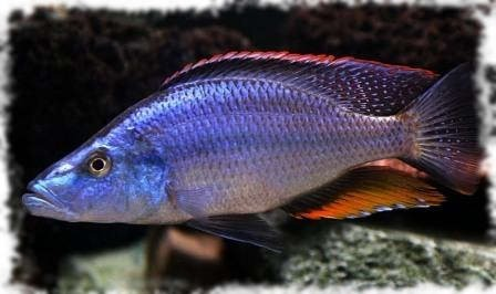 хищная рыба цихлида нож