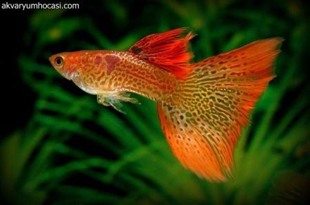 Гуппи рыбка, фото-видео обзор содержания, совместимости и разведения