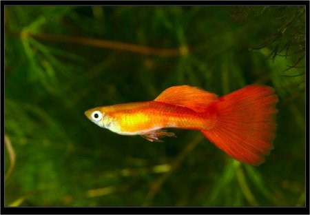 найти фото самки получёрная ковровая красножёлтая