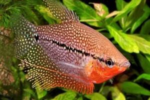 гурами аквариумные рыбки