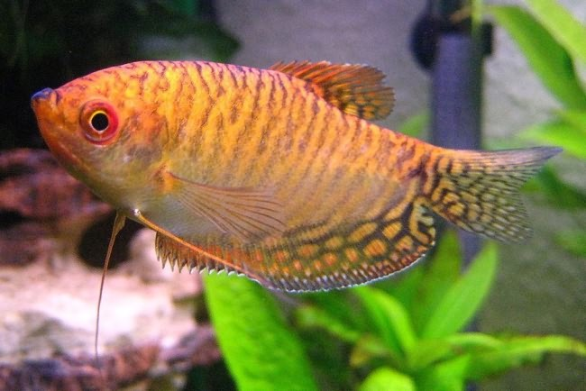 Wild colour of the blue gourami.