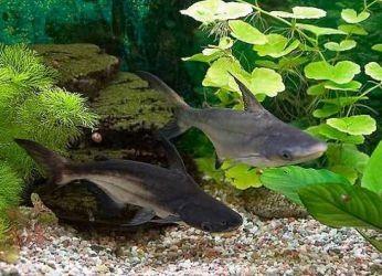 сомик акулий