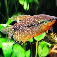Родина рыбки гурами