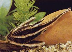 родина аквариумного сомика