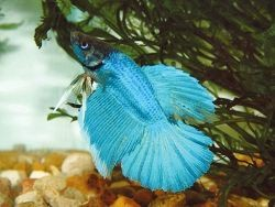Рыбки петушки уход