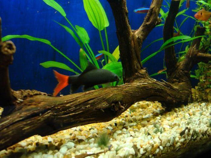 лабео рыбка