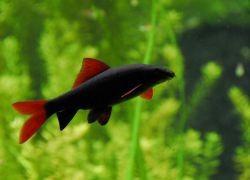 совместимость лабео с другими рыбками