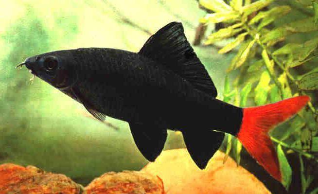 Рыбки лабео: содержание, уход, размножение