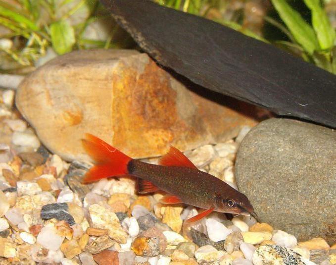 аквариумные рыбки лабео двухцветный