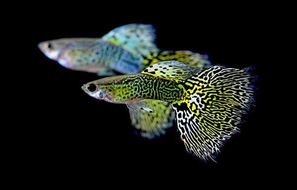 живородящие рыбы