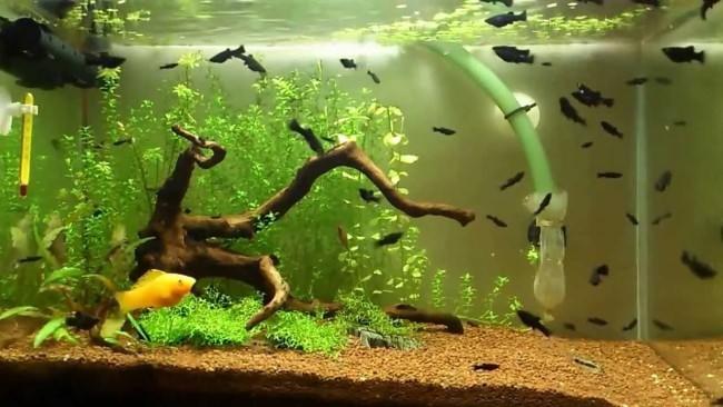 Живородящие представители подводного мира.