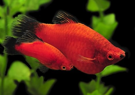 Самец (внизу) и самка