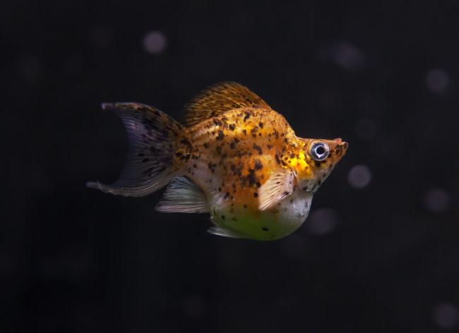 Искусственно выведенная аквариумная рыбка.