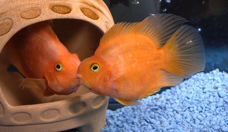 рбыка-попугай самец и самка