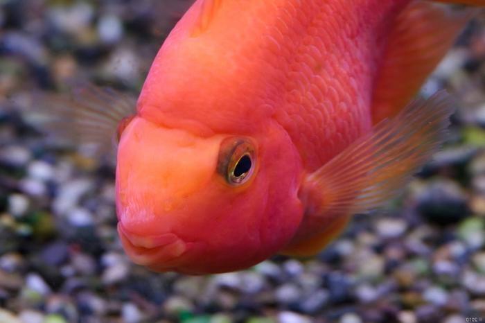 цихлида красный попугай