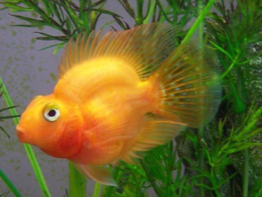 аквариумные рыбки цихлиды попугаи