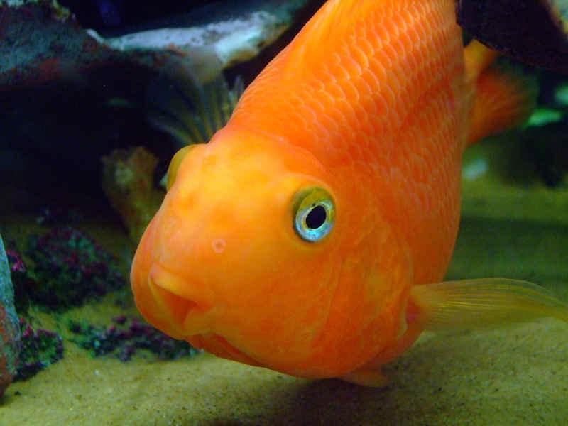 Купить рыбу красный попугай