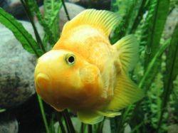 Рыбка попугай содержание и уход