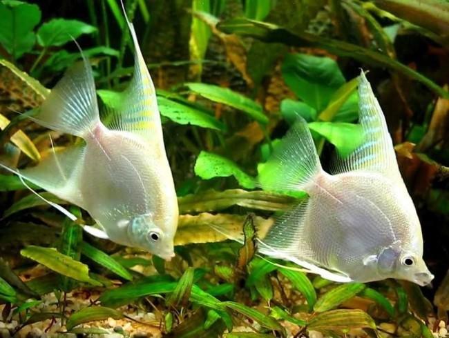 Скалярии в аквариуме.
