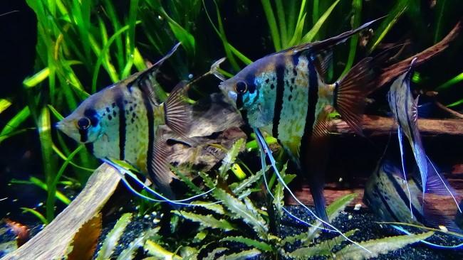 Полосатые скалярии на дне аквариума.