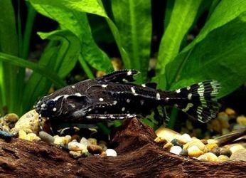 аквариумные рыбки сомики3