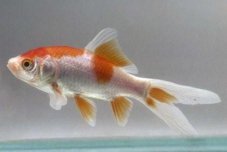 Комета аквариумная рыбка: содержание, совместимость, фото-видео обзор
