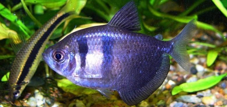 аквариумная рыбка тернеция карамелька