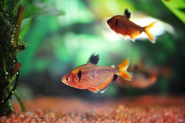 Рыбка минор.