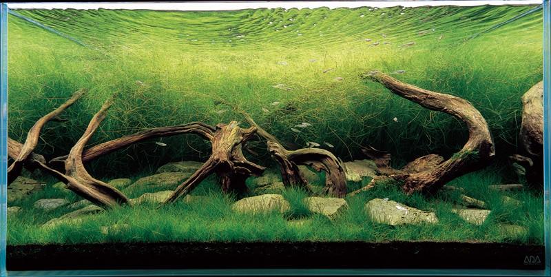 аквариум Такаши Амано с элиохарисом