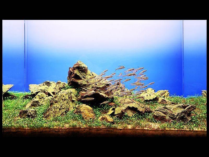 фотография аквариума Такаши Амано ивагуми