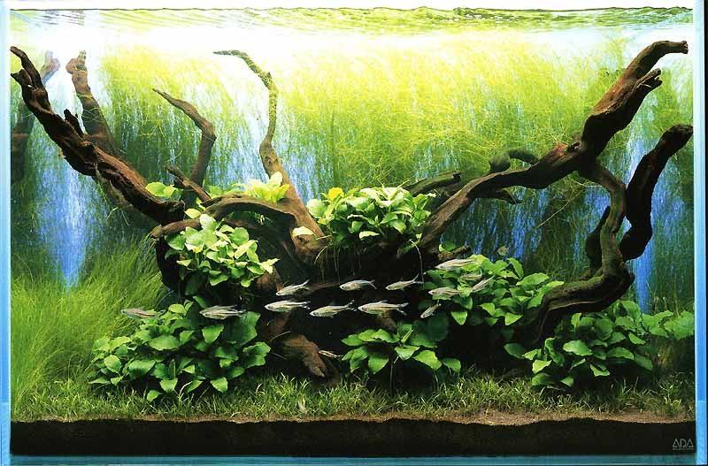 аквариум Такаши Амано с анубиасами