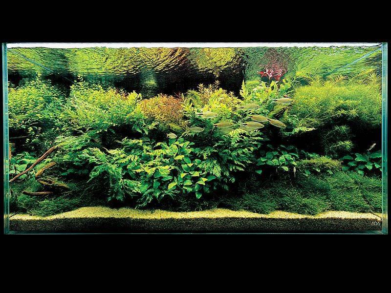 аквариум Амано с больбисом