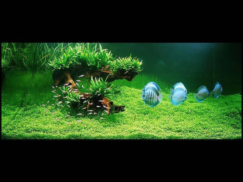 аквариум Амано с дискусами