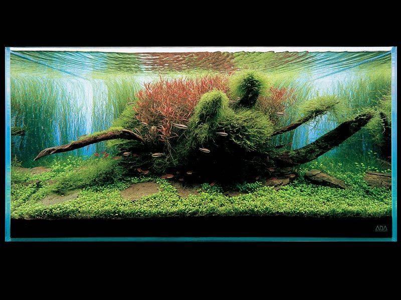 аквариум Такащи Амано с глоссостигмой