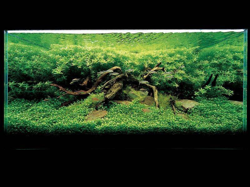 Амановский аквариум с глоссостигмой