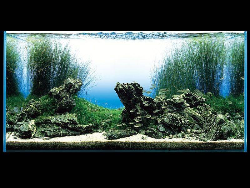 аквариум Амано с ситнягом