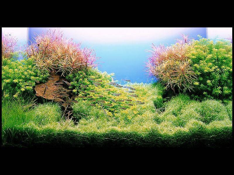 фото аквариумов такаши амано