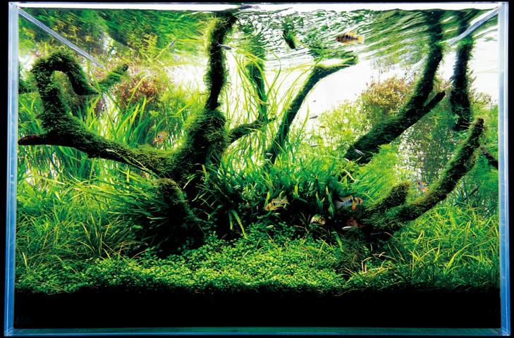 фотография аквариума Такаши Амано с корягами