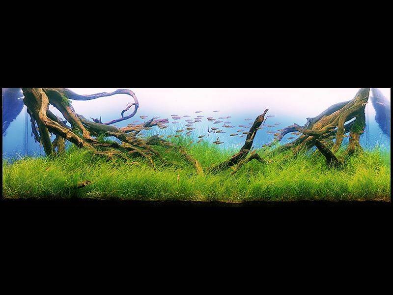 аквариум с корягами Такаши Амано