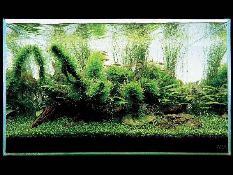аквариум Такаши Амано с криптокориной
