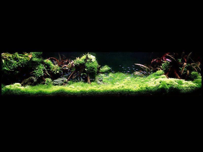 аквариум Амано с криптокориной