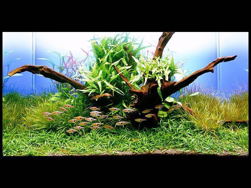 Амановский аквариум с криптокориной