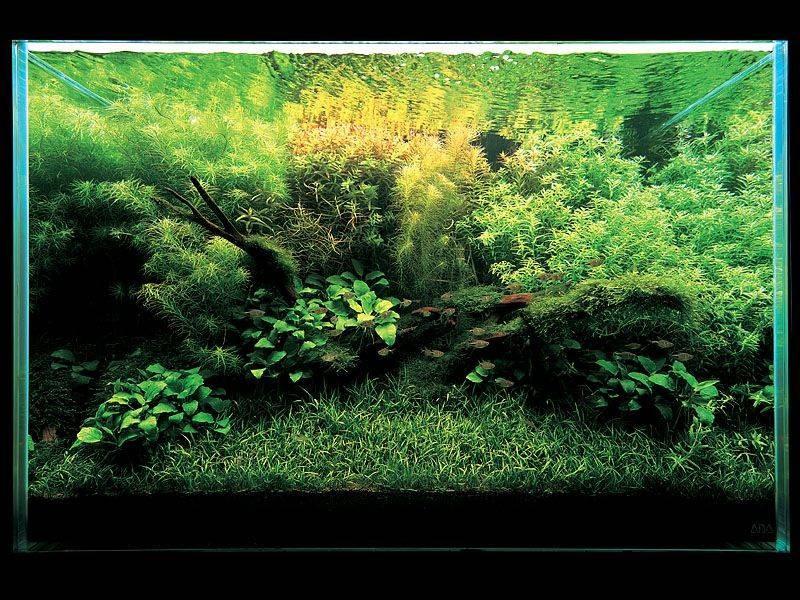 фото аквариума Такаши Амано с лилеопсисосом